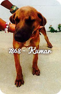 Labrador Retriever Mix Dog for adoption in Dillon, South Carolina - Kumar