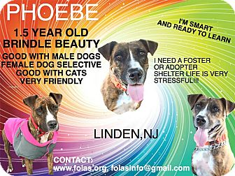 Pit Bull Terrier/Labrador Retriever Mix Dog for adoption in Union, New Jersey - Phoebe