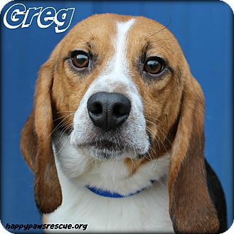 Beagle Dog for adoption in South Plainfield, New Jersey - Greg Brady