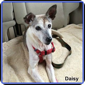 Jack Russell Terrier Mix Dog for adoption in Austin, Texas - Daisy In Beaumont
