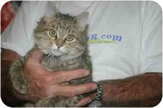 Domestic Mediumhair Kitten for adoption in Muldrow, Oklahoma - ZOIE