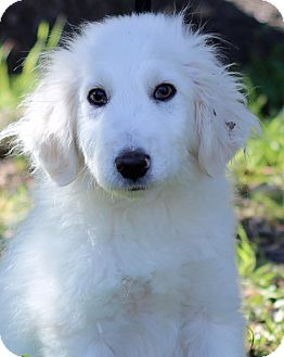 Great Pyrenees Mix Puppy for adoption in Plymouth Meeting, Pennsylvania - IKE