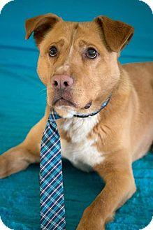 Labrador Retriever/Hound (Unknown Type) Mix Dog for adoption in Flint, Michigan - Bronson  #6091