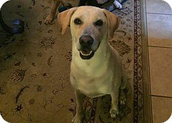 Labrador Retriever Mix Dog for adoption in San Francisco, California - Adele