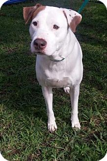 American Bulldog Mix Dog for adoption in Miami, Florida - S/C Yhela