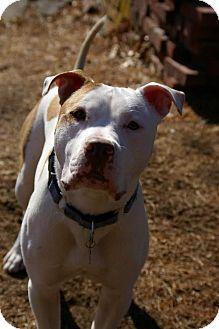 Pit Bull Terrier Dog for adoption in Framingham, Massachusetts - Cheeko