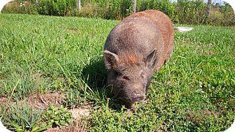 Pig (Potbellied) for adoption in Seville, Ohio - Charlotte