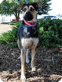 Shepherd (Unknown Type) Mix Dog for adoption in Hayden, Idaho - Dinah
