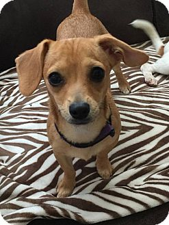 Chihuahua/Dachshund Mix Puppy for adoption in waterbury, Connecticut - Bebe