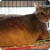 Domestic Shorthair Cat for adoption in New Orleans, Louisiana - Tabitha