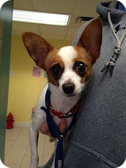 Chihuahua Mix Puppy for adoption in Philadelphia, Pennsylvania - Lana