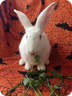 New Zealand Mix for adoption in Paramount, California - Johnie
