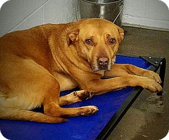 Labrador Retriever/Bulldog Mix Dog for adoption in Paducah, Kentucky - Ginger