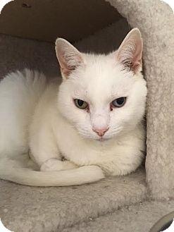 Domestic Shorthair Cat for adoption in Cashiers, North Carolina - Tiffany