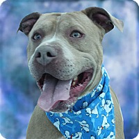 Adopt A Pet :: Blue - Cincinnati, OH