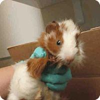 Adopt A Pet :: *Urgent* Meko - Fullerton, CA