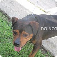 Adopt A Pet :: Dillon - Rocky Mount, NC