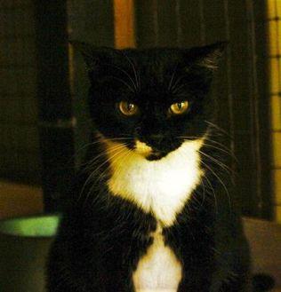 Domestic Shorthair/Domestic Shorthair Mix Cat for adoption in Ravenel, South Carolina - Snip