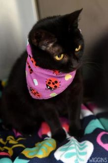 Domestic Shorthair/Domestic Shorthair Mix Cat for adoption in Corvallis, Oregon - Starling