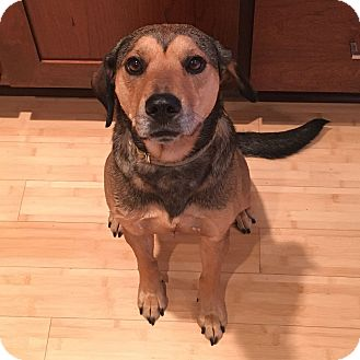 Shepherd (Unknown Type) Mix Dog for adoption in Minneapolis, Minnesota - Shyann