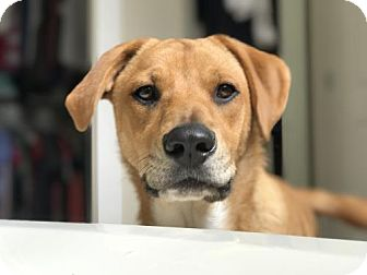 Labrador Retriever Dog for adoption in Seattle, Washington - Charlotte - Sweet Lab Pup!