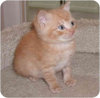 Domestic Shorthair Kitten for adoption in San Diego/North County, California - Bert
