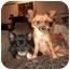 Photo 4 - Chihuahua Mix Dog for adoption in Arlington, Texas - Hailey