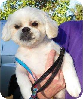 Shih Tzu Mix Dog for adoption in Mary Esther, Florida - Tommy