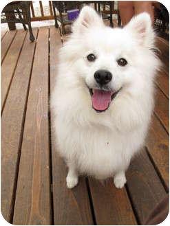 American Eskimo Dog Mix Dog for adoption in Salem, Oregon - Lightning