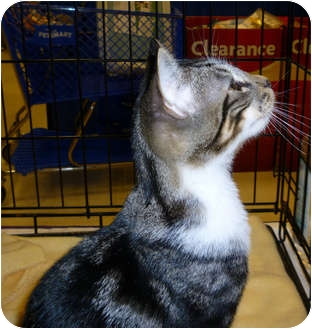 Domestic Shorthair Kitten for adoption in Tampa, Florida - Camo