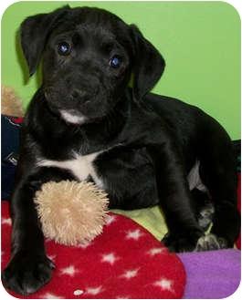 American Bulldog/Labrador Retriever Mix Puppy for adoption in Struthers, Ohio - Uggs