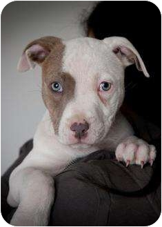Pit Bull Terrier Mix Puppy for adoption in Des Peres, Missouri - Kona