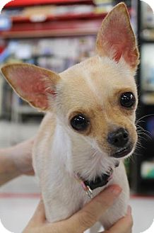 Chihuahua Dog for adoption in House Springs, Missouri - Dyxi