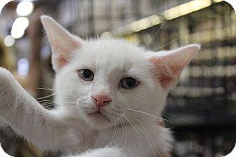 Domestic Shorthair Kitten for adoption in Santa Monica, California - milo