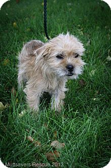 Brussels Griffon/Terrier (Unknown Type, Small) Mix Puppy for adoption in Broomfield, Colorado - Mark
