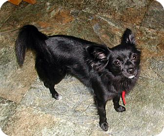 Chihuahua Mix Dog for adoption in Hainesville, Illinois - Kylie Ray