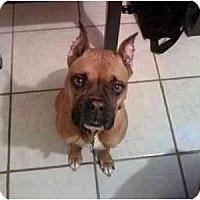 Adopt A Pet :: Lola(PUREBRED) - Miami Beach, FL