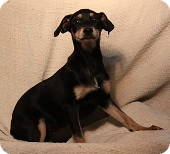 Terrier (Unknown Type, Small) Mix Puppy for adoption in Crowley, Louisiana - kong