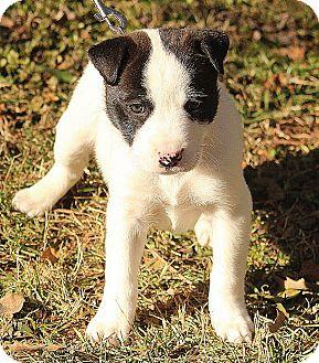 Boxer Mix Puppy for adoption in Allentown, Pennsylvania - Raven