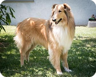 Collie Dog for adoption in S. Pasadena, California - Cindy