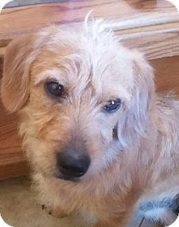 Fox Terrier (Wirehaired)/Terrier (Unknown Type, Small) Mix Dog for adoption in temecula, California - Squiggy