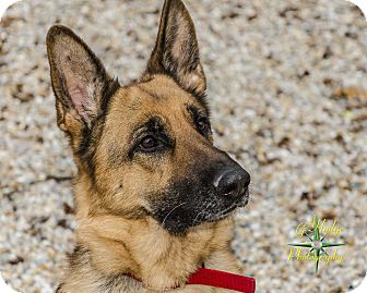 German Shepherd Dog Mix Dog for adoption in Middlebury, Connecticut - Lady
