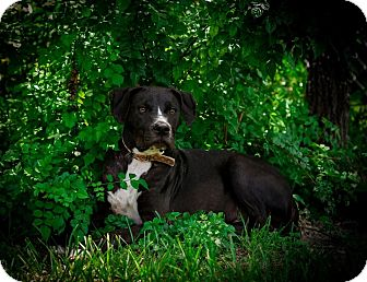 Labrador Retriever/Boxer Mix Dog for adoption in Weeki Wachee, Florida - Blaze