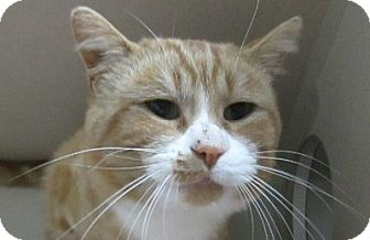 Domestic Shorthair Cat for adoption in Lloydminster, Alberta - Montaro
