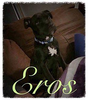 Pit Bull Terrier Mix Puppy for adoption in Garner, North Carolina - Eros