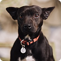 Adopt A Pet :: Minerva - Portland, OR