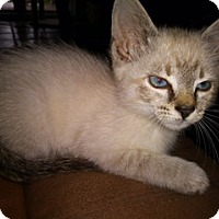 Siamese Kitten for adoption in Spring, Texas - Buffy