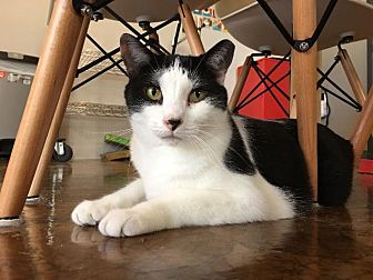 Domestic Shorthair Cat for adoption in St. Louis, Missouri - Christy