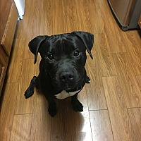 Pit Bull Terrier Mix Dog for adoption in Manhattan, Illinois - Zeus