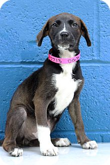 Shepherd (Unknown Type) Mix Puppy for adoption in Waldorf, Maryland - Daisy